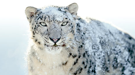 snow-leopard-wallpapers-1