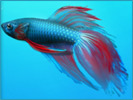 windows7-fish